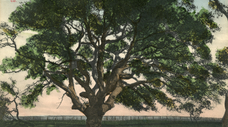Mammoth Oak, Adam's Point, Oakland, California