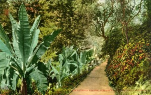 Banana Palms in Canyon, Piedmont Park, Oakland, mailed 1914
