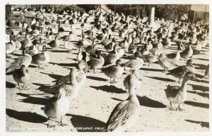Bird Refuge at Lake Merritt, Oakland, Calif.