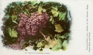 Bunch of California Grapes, Pleasanton, California