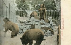 California Grizzly bears in captiviy, Idora Park, Oakland, California