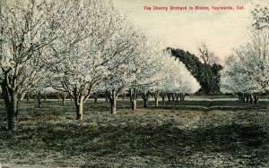 Cherry Orchard in Bloom, Hayward, California