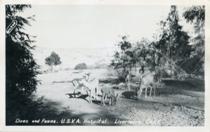 Does and Fawns, U. S. V. A. Hospital, Livermore, Calif.