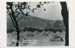 Famous Red Oats Hay, Livermore Valley, California