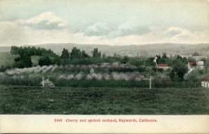 Cherry and apricot orchard, Haywards, California