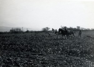 Haywards, California, Plowing Sugar Beets