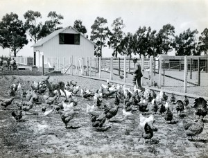 Hens used for setting, Bird Farm, near Hayward, California (1)
