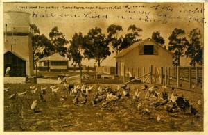 Hens used for setting - Game Farm, near Hayward, Cal.