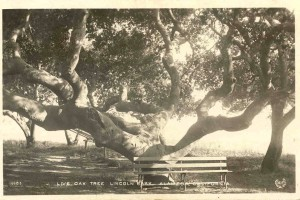 Live Oak Tree, Lincoln Park, Alameda, California