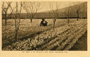 Mrs I. W. Kersey's Lily Farm, Hayward, Cal.