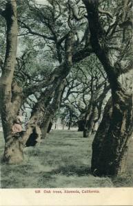 Oak trees, Alameda, California