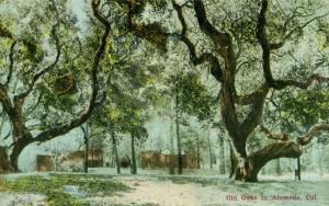 Old Oaks in Alameda, Cal.