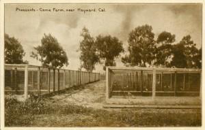 Pheasants - Game Farm, near Hayward, Cal.