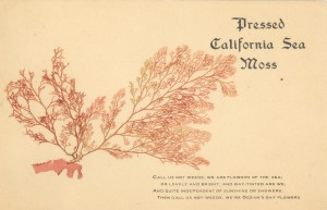 Pressed California Sea Moss