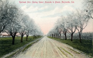 Railroad Ave. (Spring Scene) Almonds in Bloom, Haywards, Cal. mailed 1910