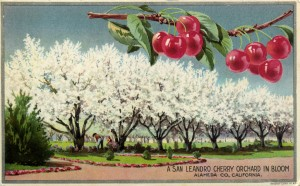San Leandro Cherry Orchard in Bloom, Alameda Co., California