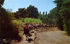 The Burro Pack Train travel through wild country at Frontier Village, San Jose, California