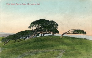 The Wind Blown Oaks, Haywards, Cal.