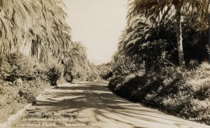 Tropical Palm Entrance Drive by Luther Burbank, Old Hearst Ranch, Pleasanton, California