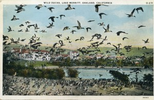 Wild Ducks, Lake Merritt, Oakland, California 1933